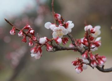 """""""Аптекарский огород"""" зовет послушать романсы на фоне цветущей сакуры"""